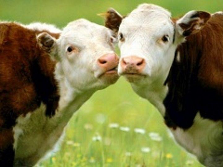 Более 700 фермеров-животноводов поборются за гранты на Ставрополье