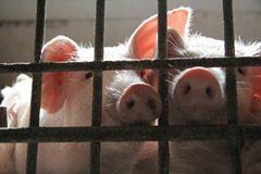 Дело о свиной чуме на Ставрополье направлено в суд