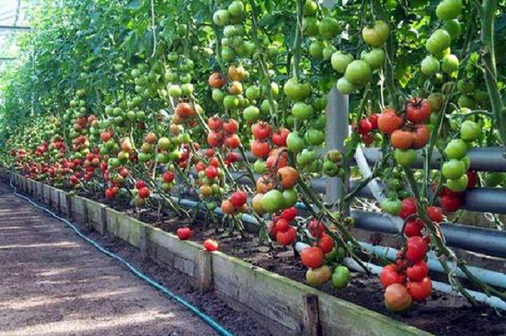В ближайшие три года на Ставрополье появится 120 гектаров новых теплиц