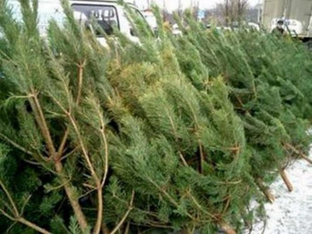 На ёлочных базарах в Ставрополе можно купить новогоднее деревце за 800 рублей