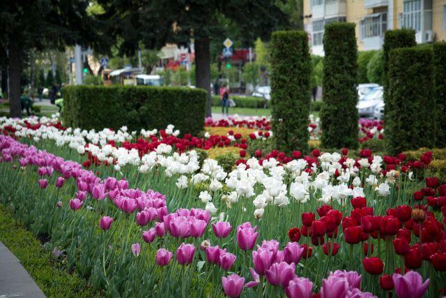 В Ставрополе высадят более 7 тысяч деревьев и сотни тысяч цветов