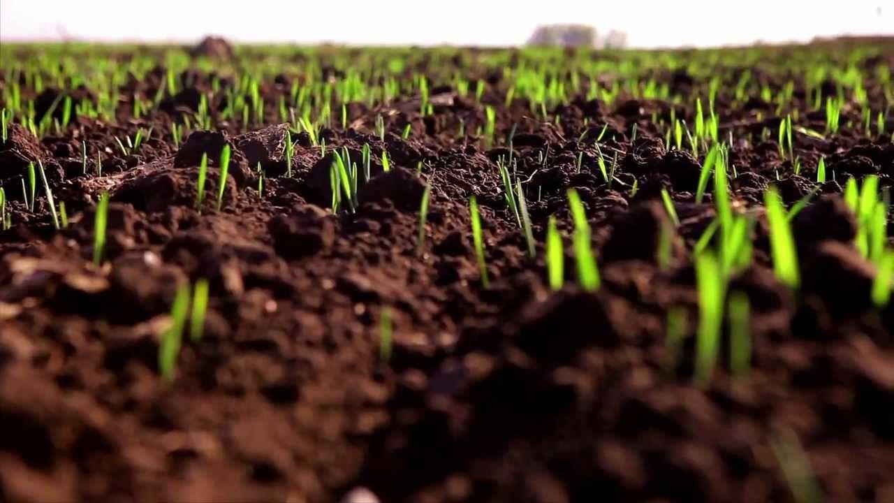 На Ставрополье посевы яровых зерновых культур пересекли экватор