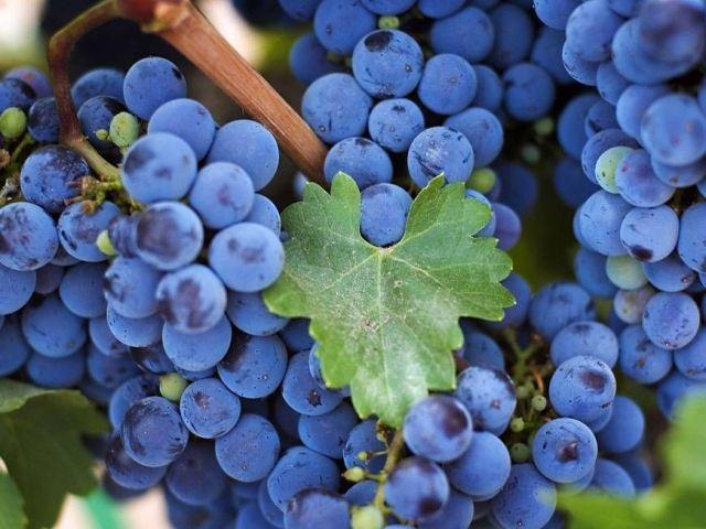 В Ставропольском крае заложили новый промышленный виноградник