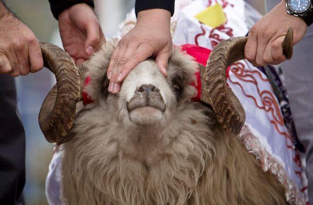 Фонд Кадырова на национальный праздник Курбан-байрам раздаст 60 тысяч овец
