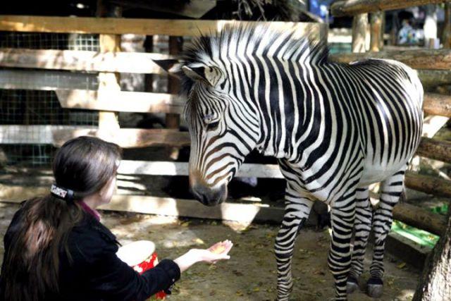 В ставропольском зоопарке погиб самец зебры