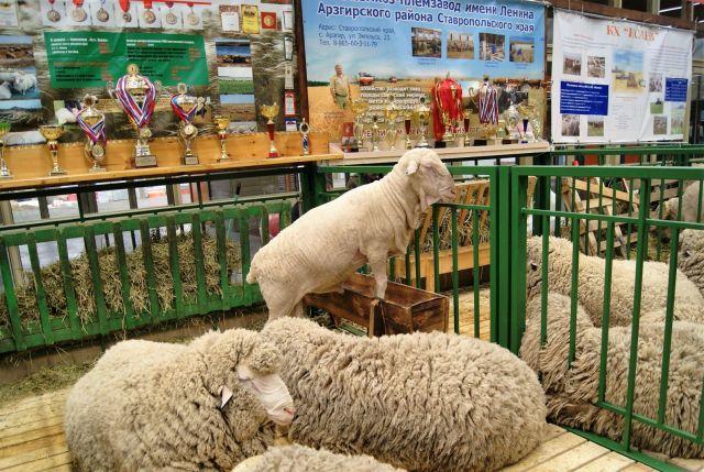 На Ставрополье вывели новую породу овец