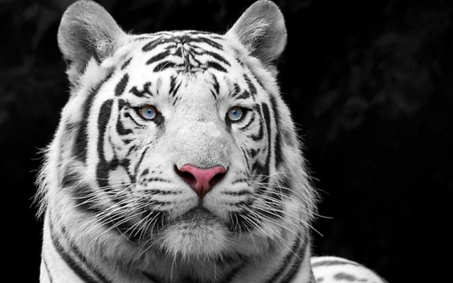 На пьяного циркового артиста из Ставрополя напал тигр