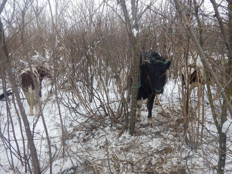 НаСтаврополье схвачен мужчина, похитивший скот на190 тыс. руб.