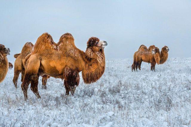 Верблюды в зимней ставропольской степи попали в объектив питерского фотографа Федора Лашкова
