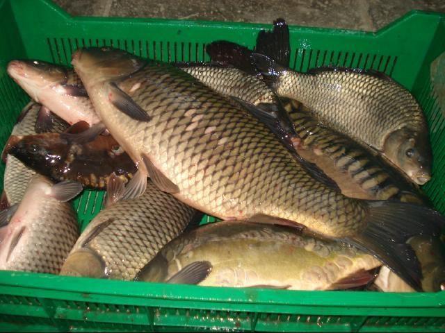 Купить живую рыбу оптом недорого в москве
