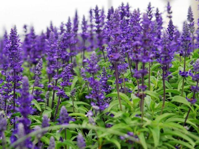 Производство пряных и лекарственных культур — новый тренд Ставрополья