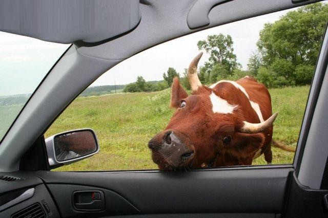 В КЧР грабители затолкали украденную корову в салон автомобиля