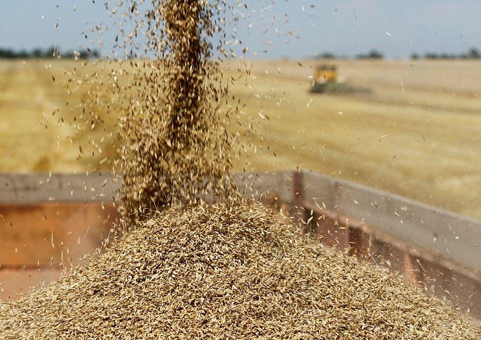 Ставропольский край занимает первую позицию в России по качеству зерна