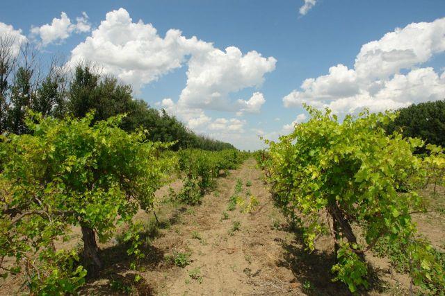 Нефтекумское вино возвращается на российский рынок