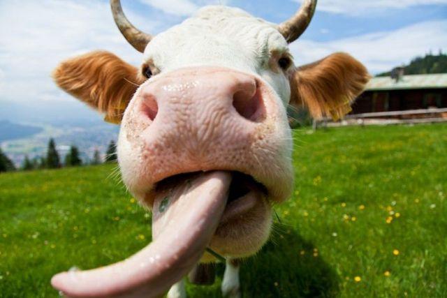 Ставропольцев взбудоражил ролик с пьющими из нарзанного источника коровами