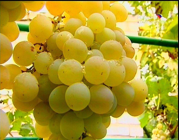 НаСтаврополье в следующем году появятся индустриальные виноградники
