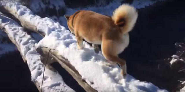 Более 250 тысяч просмотров набрали на Youtube пёс породы сиба-ину и его хозяин из Пятигорска
