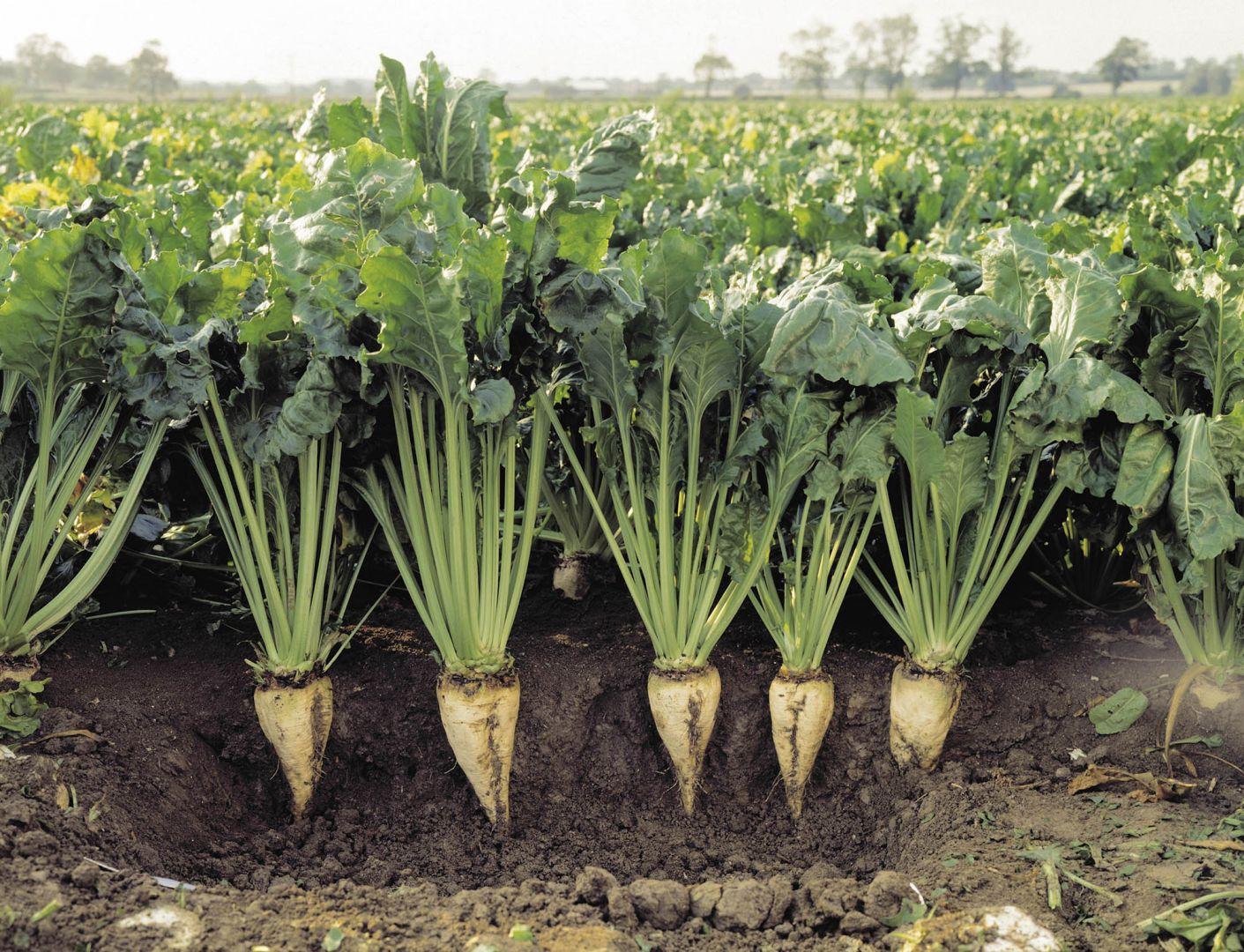 Выращивание сахарной свеклы на кубани 71