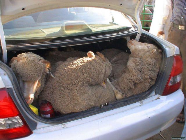 Похитителей овец задержали в Ставропольском крае