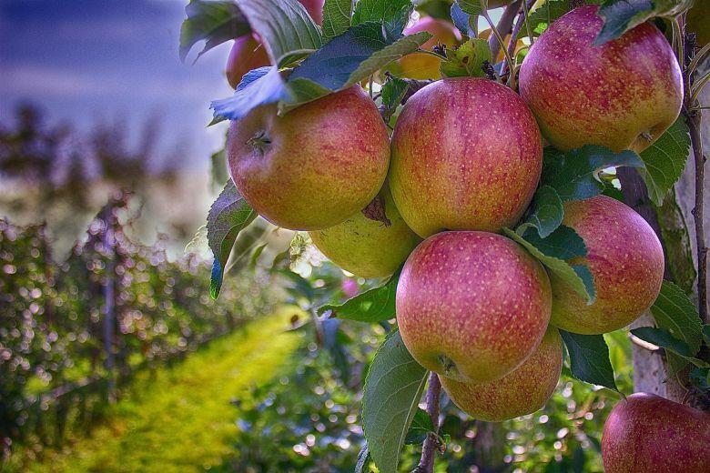 В Ставропольском крае собрали 9 тысяч тонн плодово-ягодной продукции