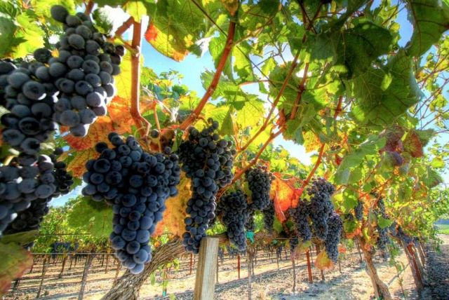 Уборка столовых сортов винограда началась в Ставропольском крае