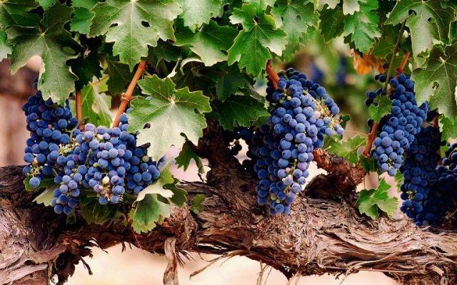 Виноделы Ставрополья отпраздновали день своего святого покровителя