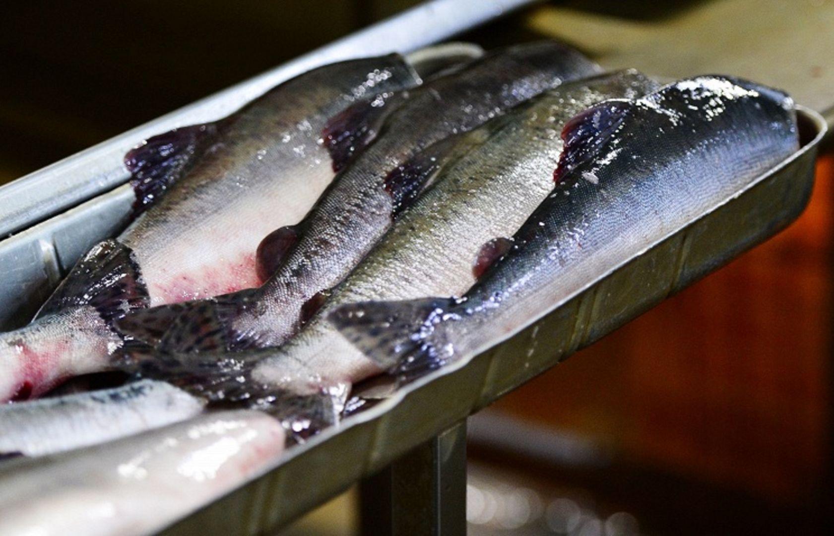 Цены на красную рыбу в России начали снижаться из-за рекордного улова