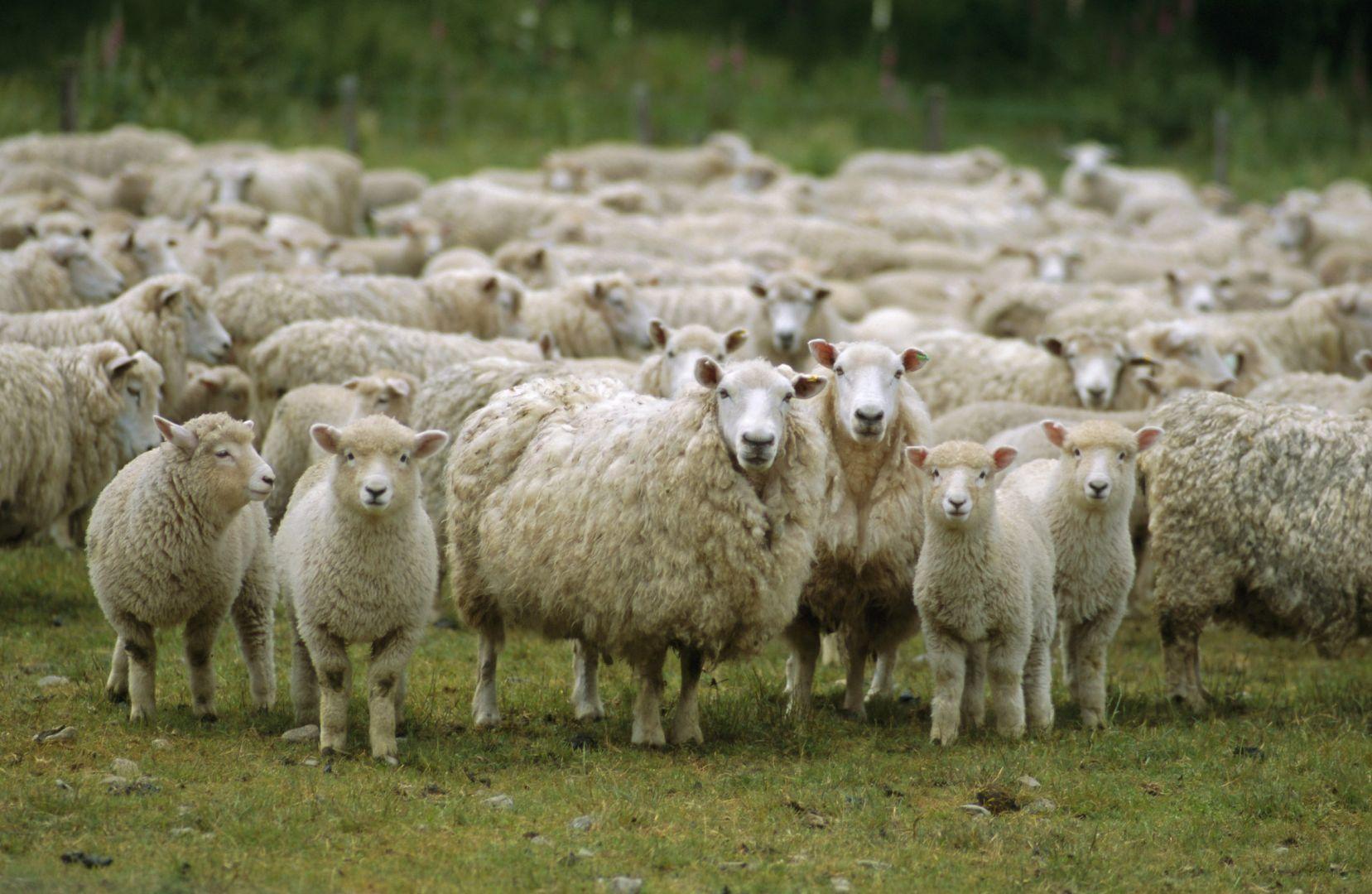 НаСтаврополье молодой пастух изсоседнего региона похитил 40 овец