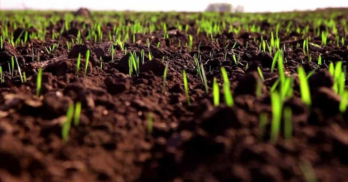 Благодаря выпавшим осадкам на Ставрополье взошли посевы озимых культур