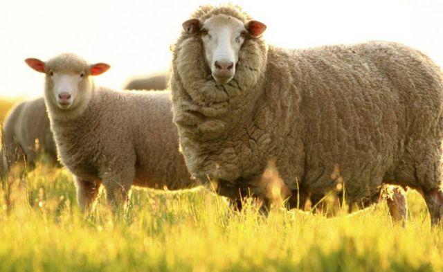 Почти 300 миллионов выделили на поддержку ставропольских овцеводов
