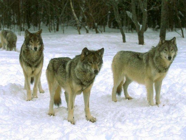 В Ставропольском крае будут регулировать численность шакалов, волков и лисиц