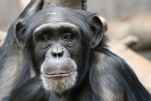 В ставропольском зоопарке умер шимпанзе Малевич