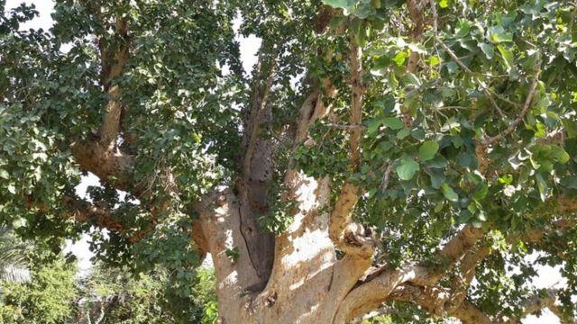 В Ставрополь 15 октября доставят один из четырёх отростков дерева Закхея