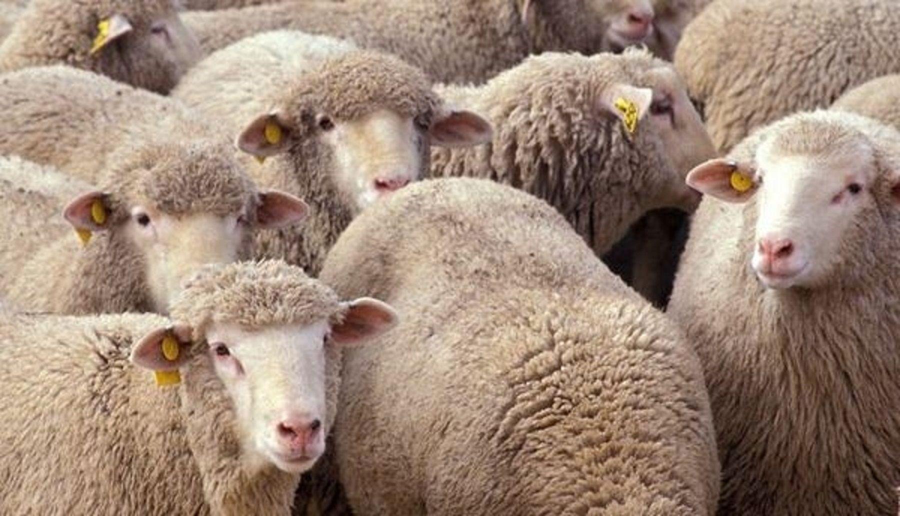 Житель Ставрополья похитил более 50 голов овец и коров