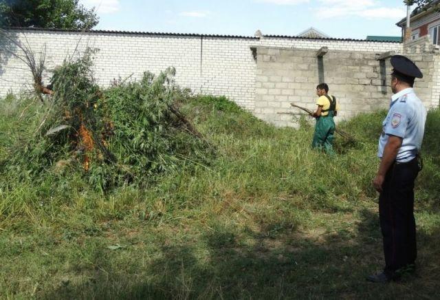 На Ставрополье уничтожили коноплю на площади 2 тысячи квадратных метров