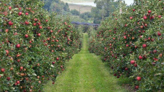 На Ставрополье появится интенсивный яблоневый сад