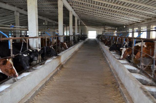 В Александровском районе Ставрополья появится крупное молочное хозяйство