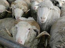 Ветеринары выявили очаг бруцеллёза в одном из ставропольских сёл