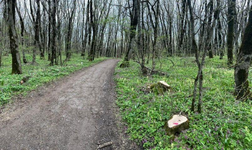 На Ставрополье незаконно спилили больше 150 деревьев, возбуждено уголовное дело