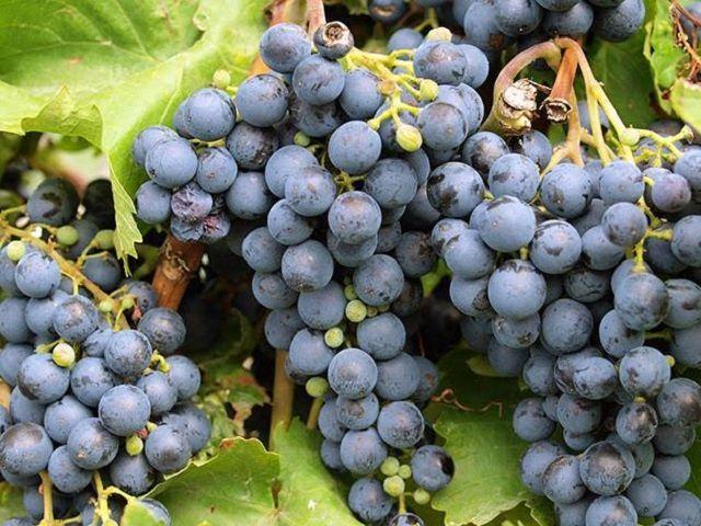 В 2016 году на Ставрополье собрали более 45 тысяч тонн винограда