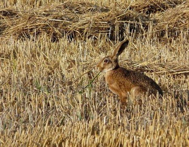 Запрет охоты на зайца-русака будет действовать в 45 охотничьих угодьях Ставрополья