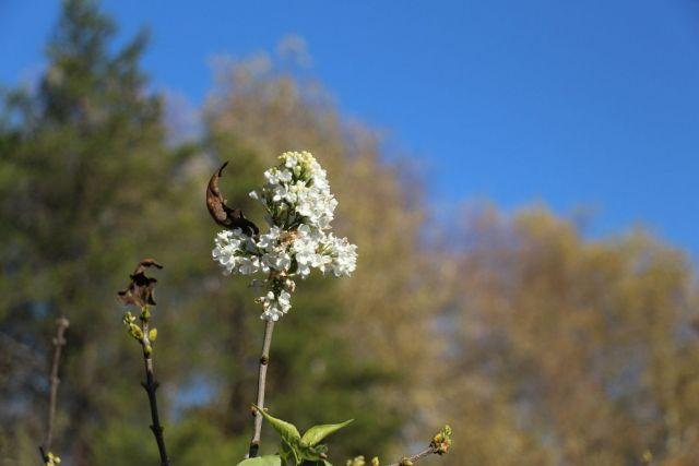 В Ставропольском ботаническом саду поздней осенью цветёт сирень