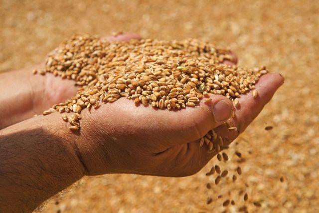 На Ставрополье раскрыли дело о хищении более полутора тонн зерна пшеницы