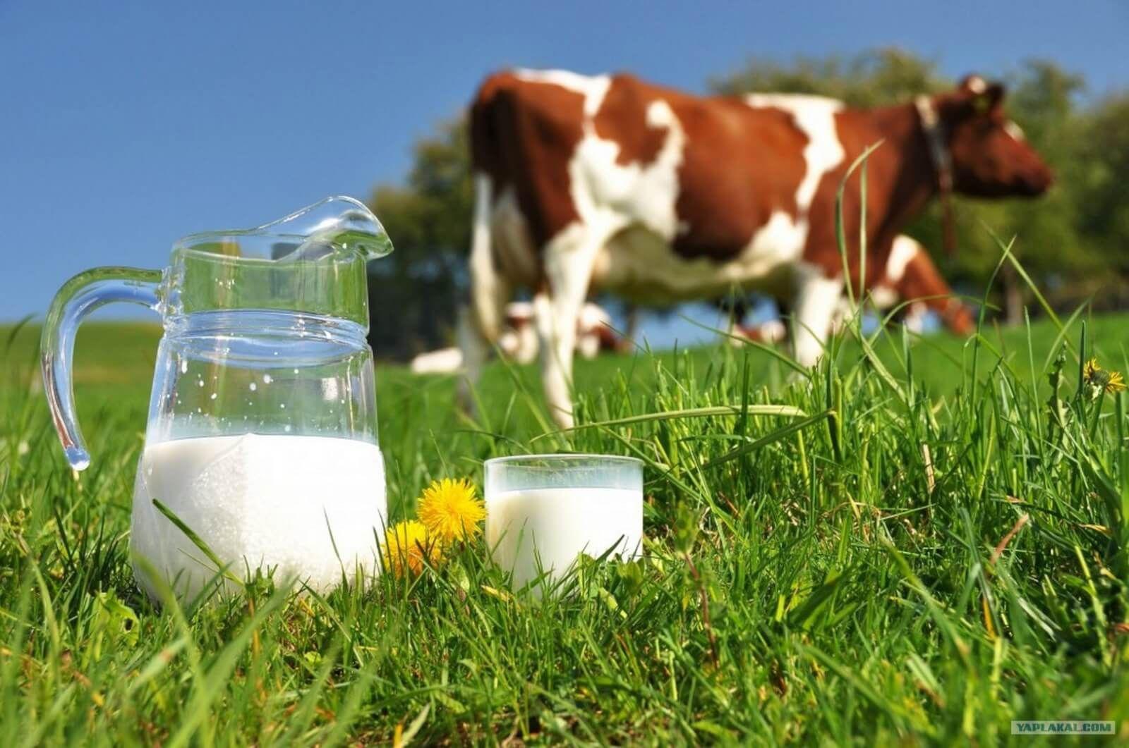 НаСтаврополье производство молока вырастет на40%