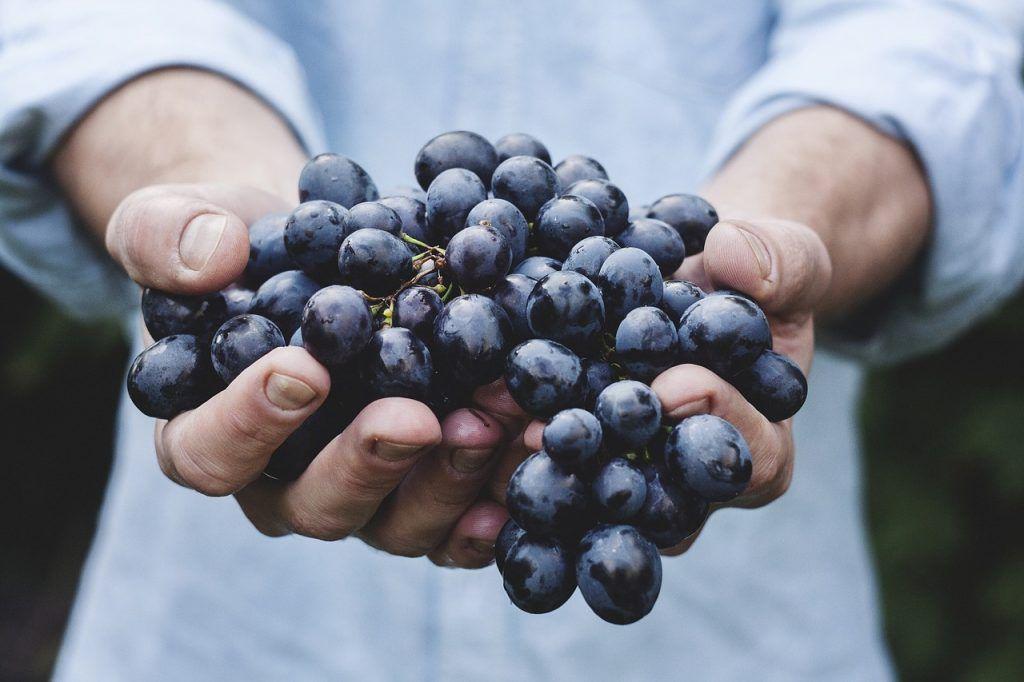 Ставропольские виноградари-новички получат субсидии от краевых властей