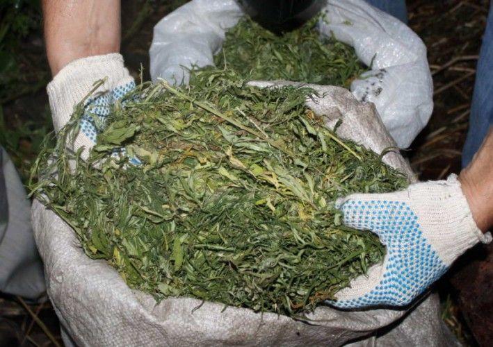 У жителя Ставрополья на приусадебном участке обнаружили более 180 кустов конопли