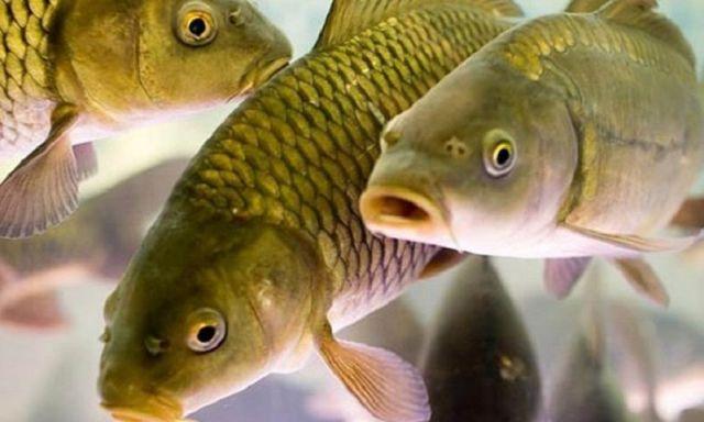 В Ставропольском крае полицейские раскрыли кражу 200 килограммов годовалого малька рыбы