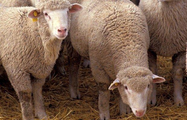 Овцеводы России обсудили в Ставрополе будущее отрасли