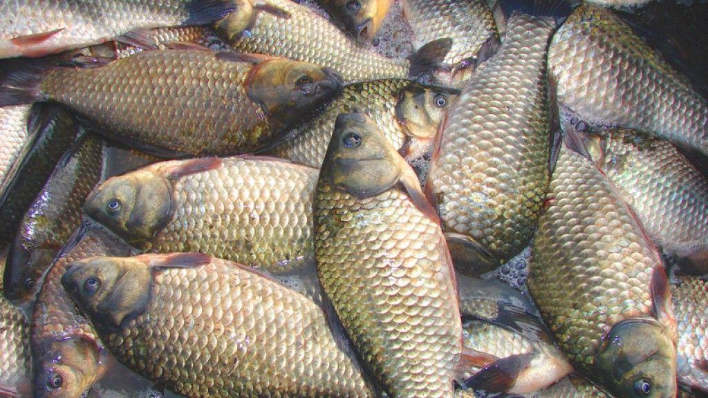 Минсельхоз: Георгиевские аграрии произведут рыбы на 30 тонн больше