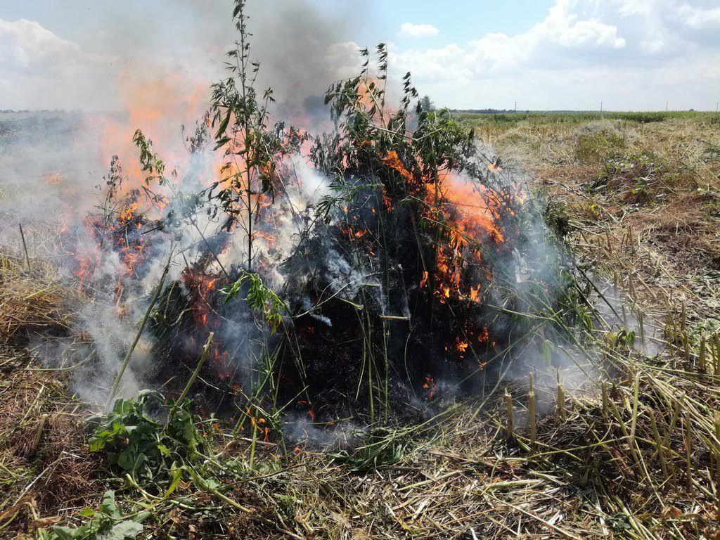 Надымские полицейские ушли вполя напоиски растений, содержащих наркотики
